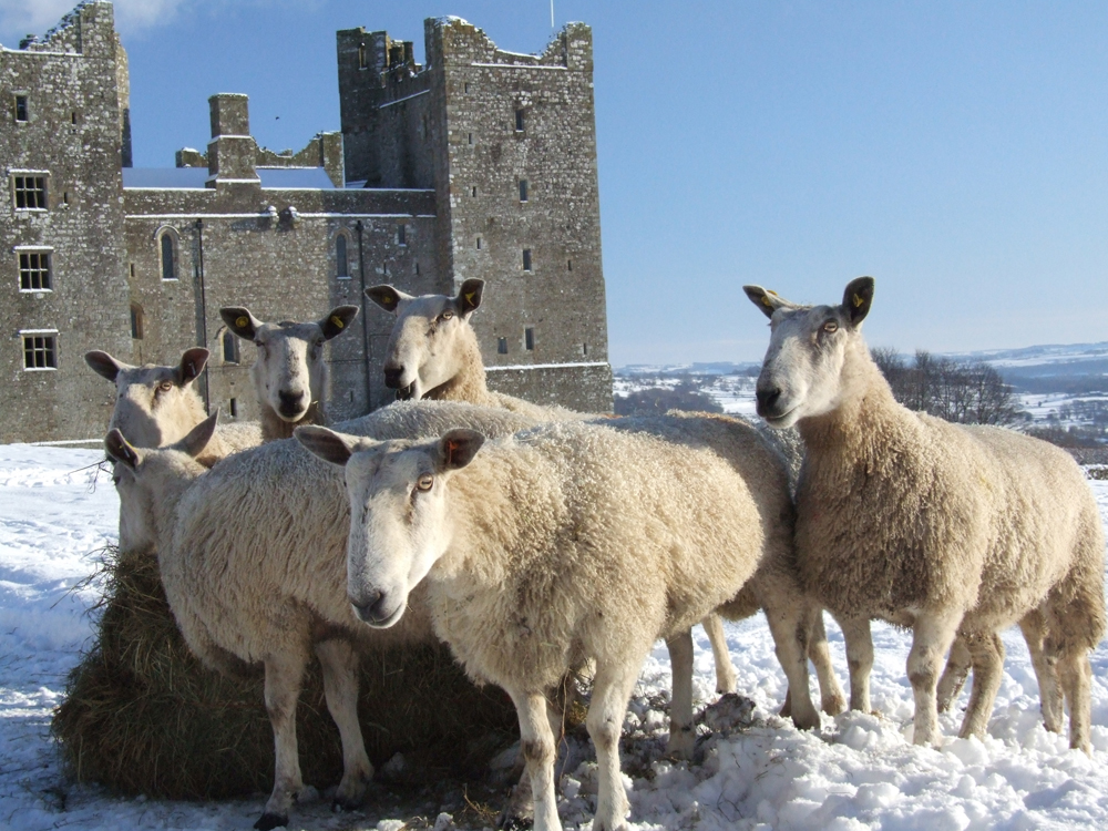 Sheep at Bolton Castle